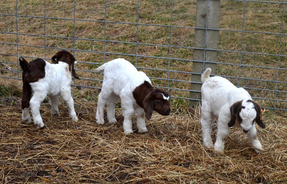 Boer Goat Breed Information  Modern Farming Methods